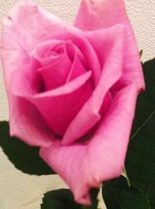 紫の薔薇!
